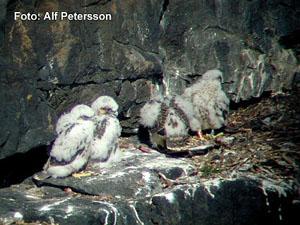 Samtliga fyra syskon på bohyllan, nedan delförstoring med hanen A2 (Råger) till vänster.