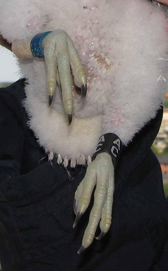 2009 - Foto på en av ungarnas ringar