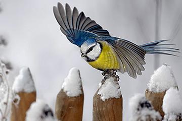 Vinterfåglar inpå knuten