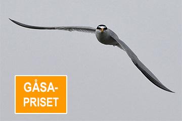 Gåsapriset/småtärna, foto Totta Sandberg