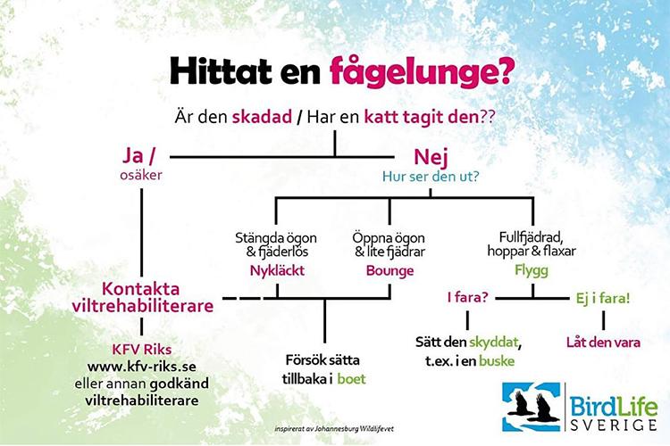 Hitta en fågelunge? Info från BirdLife Sverige